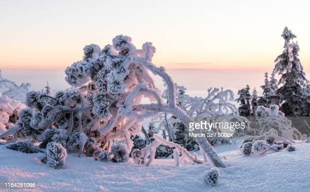 frosty mountain pine - babia góra mountain stock pictures, royalty-free photos & images
