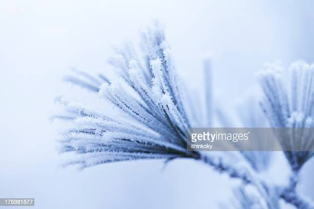 Frosty pine feuille
