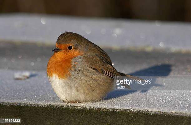 Frostigen robin