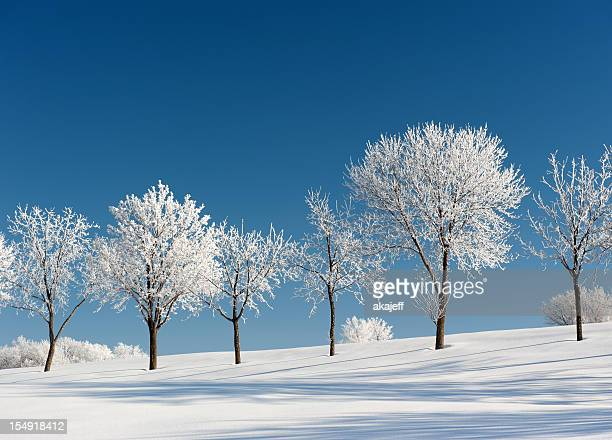 Frosty Trees on a clear Winter day