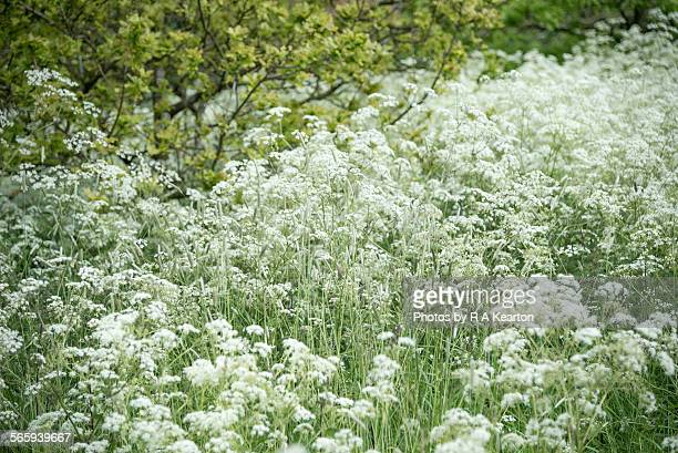 A frothy mass of Cow Parsley beside a country lane
