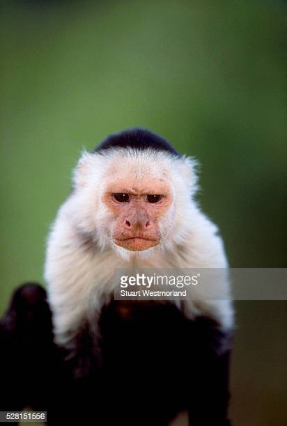 frowning capuchin monkey - capuchin monkey stock pictures, royalty-free photos & images