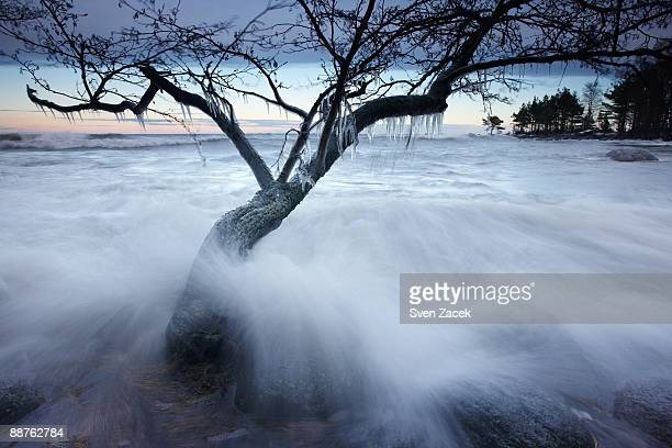 Frozen alder (Alnus sp.) inundated by Baltic sea, Estonia