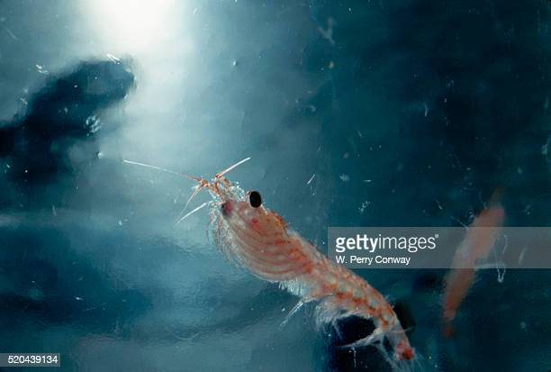 Frozen Antarctic Krill