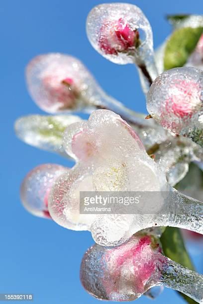 Congelarse flor de manzano