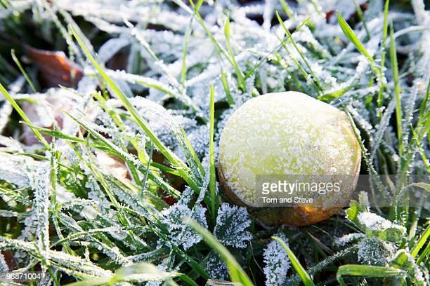 Frozen apple on frozen grass in winter