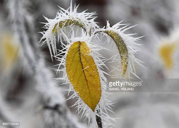Frozen apple tree leaves are pictured on a cold and foggy day in Gaiberg near Heidelberg Germany on December 31 2016 / AFP / DANIEL ROLAND