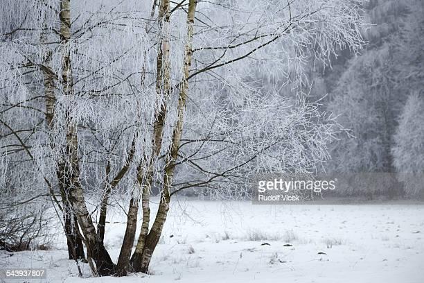 Frozen birch tree