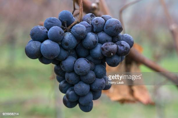 Frozen blue grapes on vine for ice wine, Dossenheim, Baden-Wuerttemberg, Germany