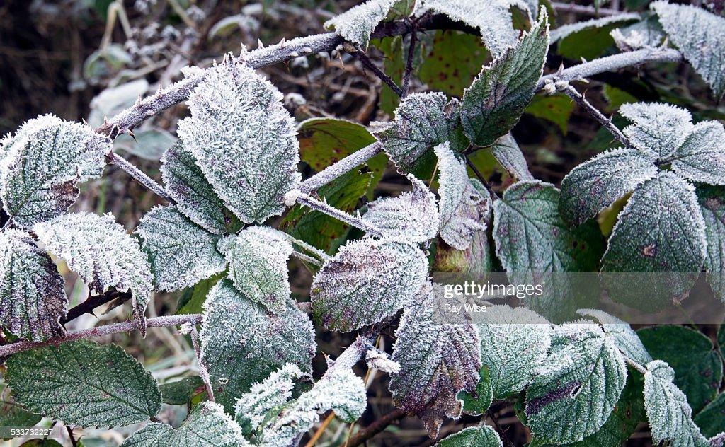 Frozen brambles : Foto stock