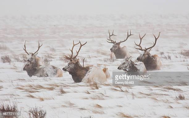 Frozen Bull Elk