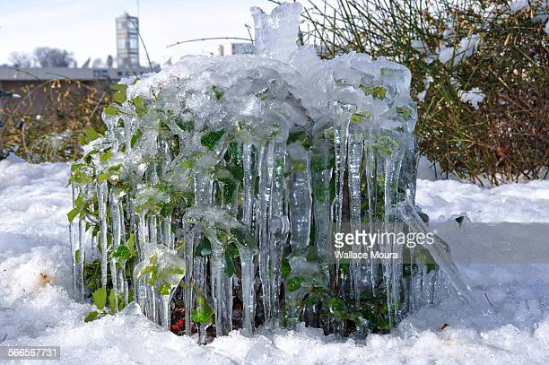 frozen bush - moura stock photos and pictures