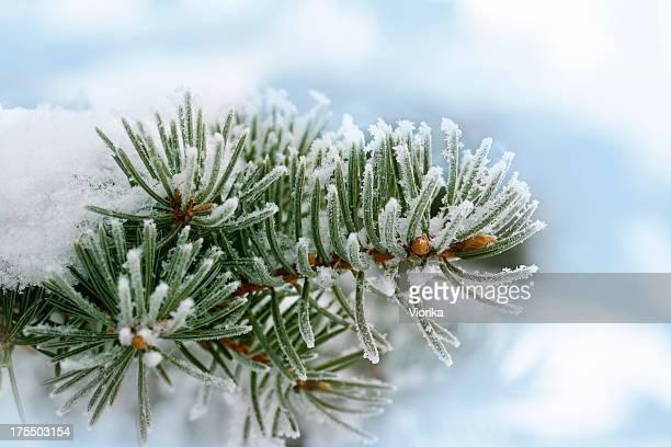 Frozen branche Sapin