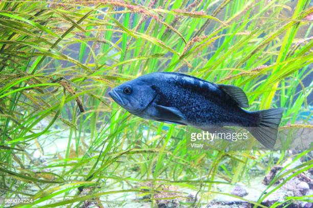 frozen fish - freshwater sunfish stock photos and pictures