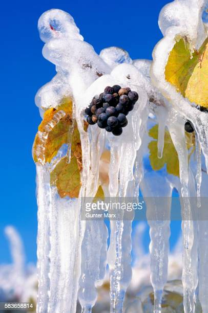 Frozen Grapes for Ice Wine Harvest