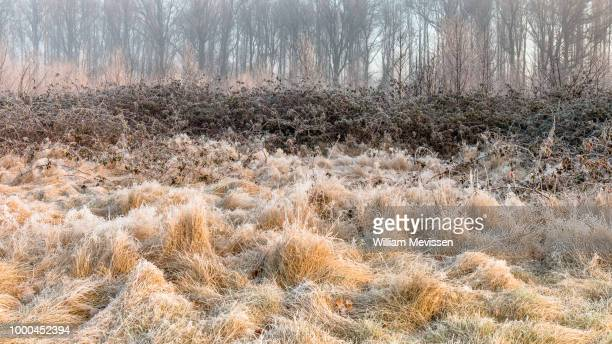 frozen grasses - william mevissen foto e immagini stock