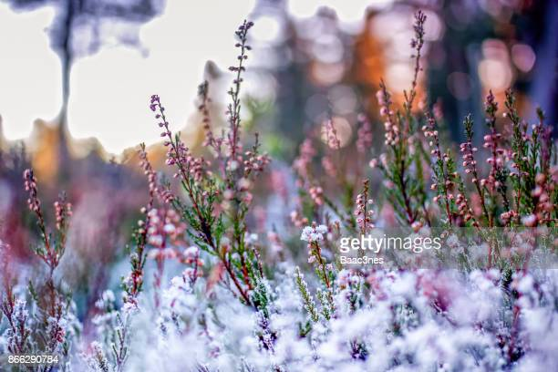 Frozen Heather - Autumn In Norway
