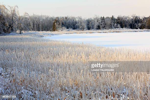 Frozen lake and ice coated trees and rushes