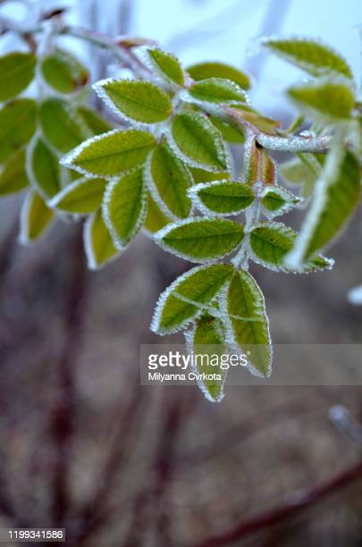 frozen leaf 2 - frozen 2 stock pictures, royalty-free photos & images