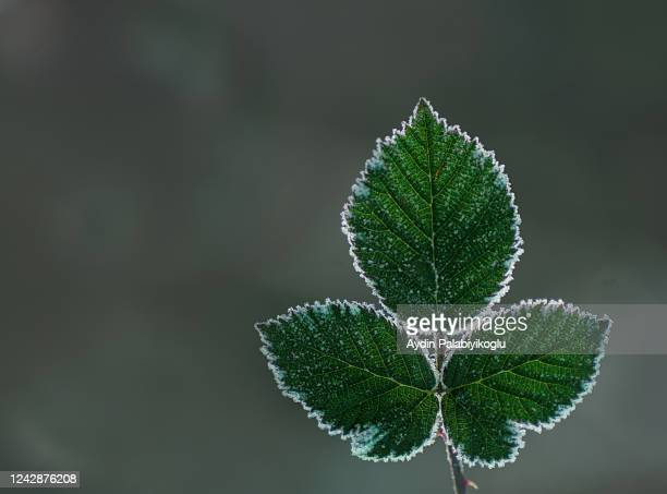 frozen leaf - frozen fruit stock pictures, royalty-free photos & images