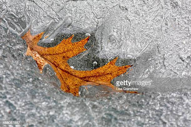 frozen leaf - lisa cranshaw stock pictures, royalty-free photos & images