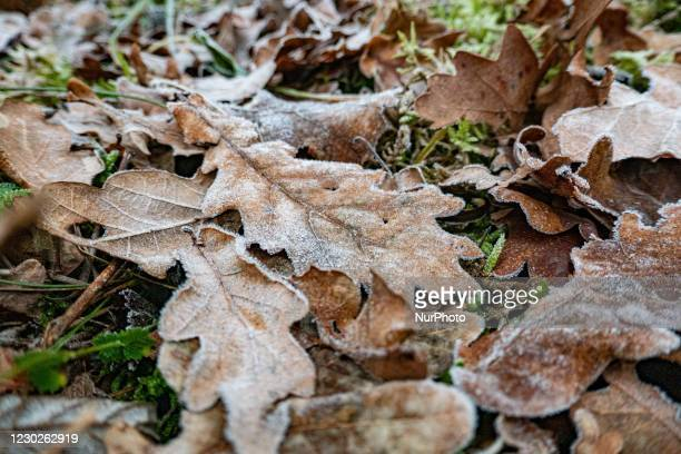 Frozen leaves in Nationaal Park Zuid-Kennemerland is a Dutch National Park between Bloemendaal and the North Sea Canal established in 1950, near...