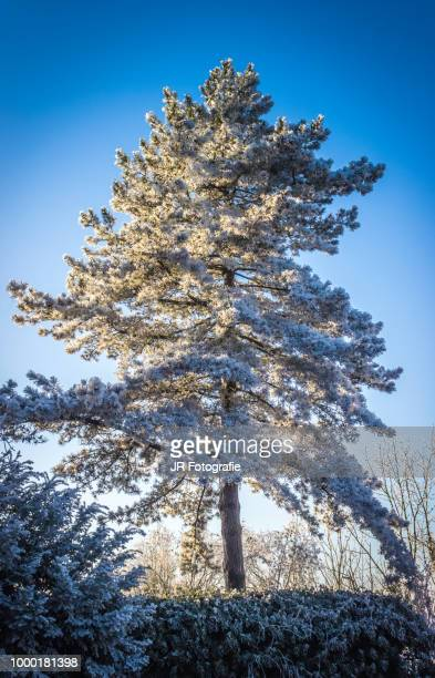 Frozen Marksburg Tree