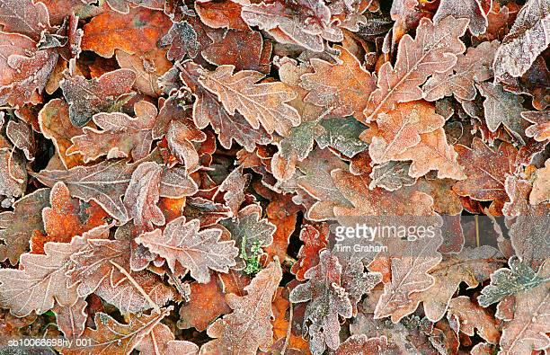 frozen oak leaves, oxfordshire, uk - oak leaf stock pictures, royalty-free photos & images