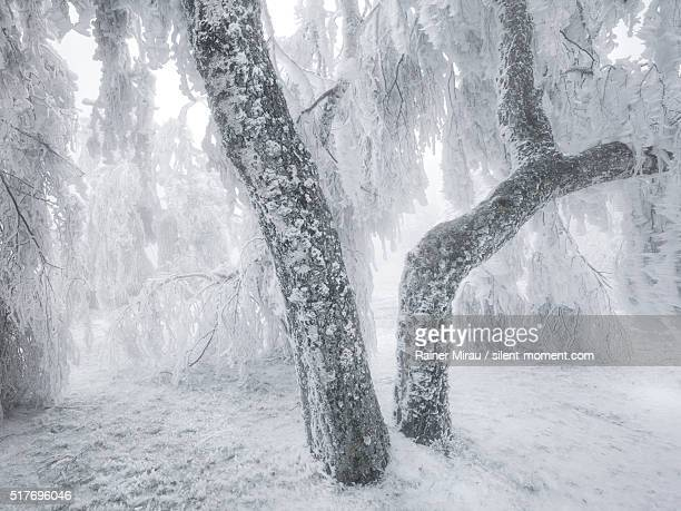 frozen rain leading to an ice cover on trees. - wald stock pictures, royalty-free photos & images