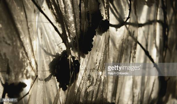 Frozen riesling grapes are pictured during their harvest at a vineyard of the winegrowing estate Schloss Vollrads on January 16 2006 in...