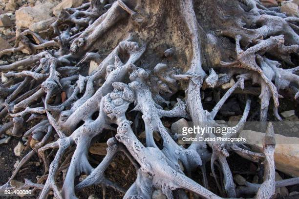 frozen roots of a large dead tree - snag tree stock pictures, royalty-free photos & images