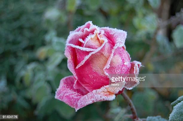 frozen rose à la fin de l'automne