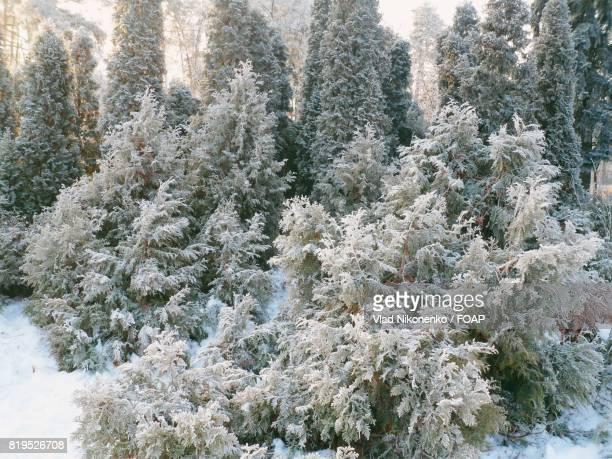 frozen tree in forest - ruhe vor dem sturm stock-fotos und bilder