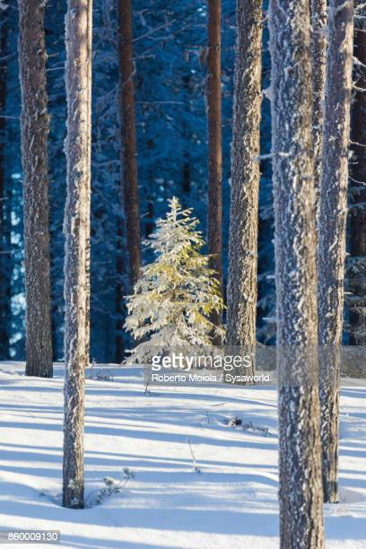 frozen trees in the snowy woods, kiruna, sweden - swedish lapland stock photos and pictures