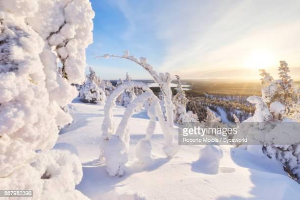 Frozen trees, Lapland, Finland