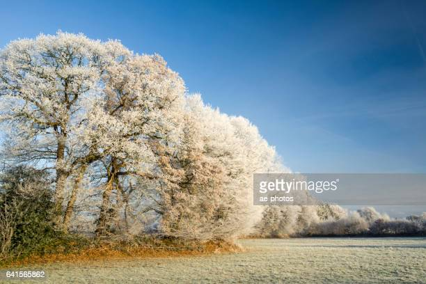 Frozen trees on pasture under clear sky in morning light