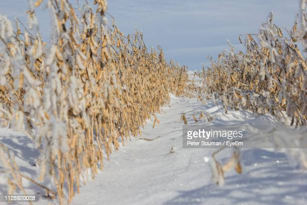 frozen trees on snow covered field against sky - peter snow stock pictures, royalty-free photos & images