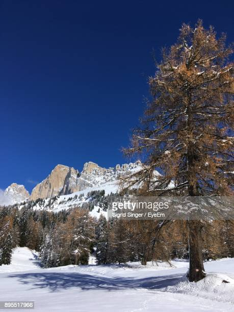 Frozen Trees On Snowcapped Mountain Against Clear Blue Sky