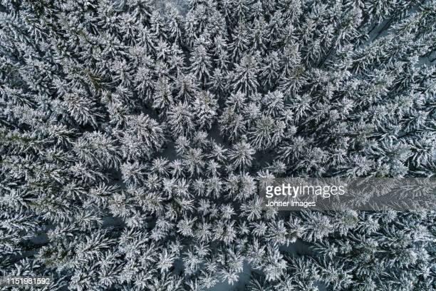 frozen trees seen from above - spruce tree stock pictures, royalty-free photos & images
