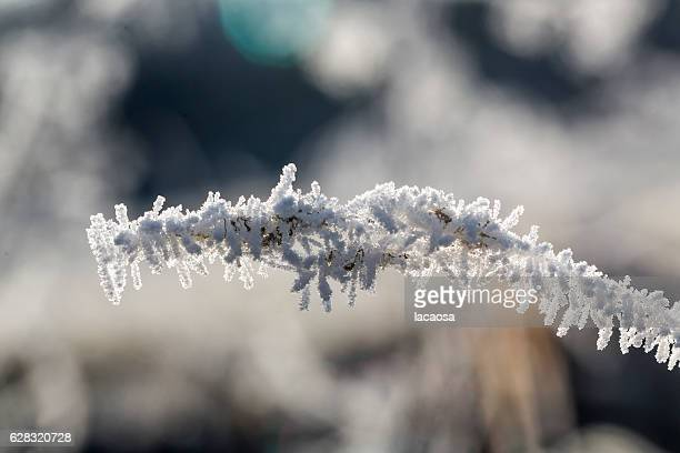frozen twigs