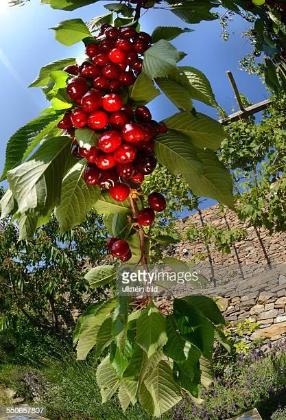 Frucht dunkelrote Suesskirsche am Baum Prunus Avium Mai / Juni Ligurien Italien 62531D4103