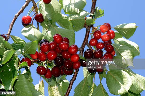 Frucht dunkelrote Suesskirsche am Baum Prunus Avium Mai / Juni Ligurien Italien 62531D4122
