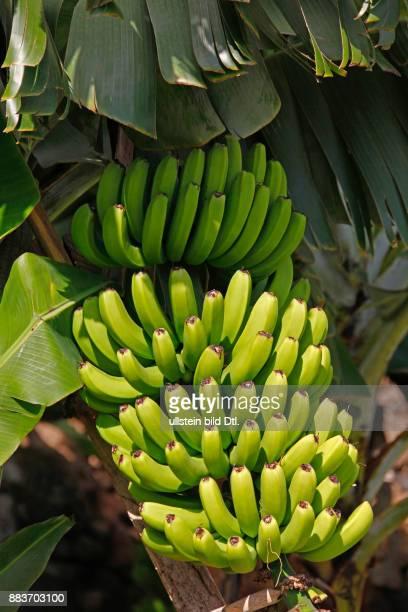 Fruchtstand einer Bananenstaude Bananenplantage Jardim do Mar Insel Madeira Portugal