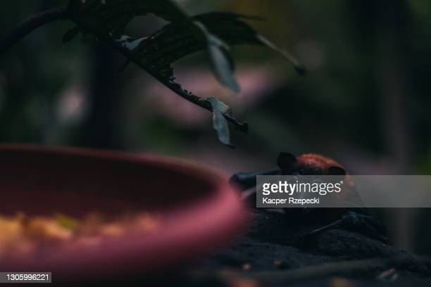 a fruit bat approaching their bowl for their meal - zoonotic diseases stock pictures, royalty-free photos & images