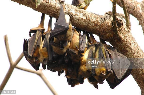fruit bat colony - fruit bat stock pictures, royalty-free photos & images