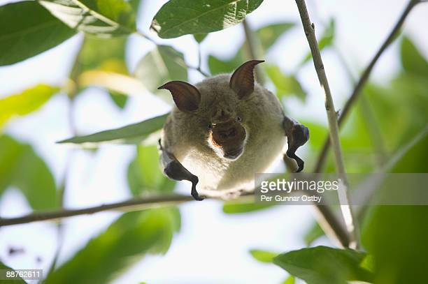 Fruit bat (Pteropodidae) hanging in a tree, Kaoaland, Namibia