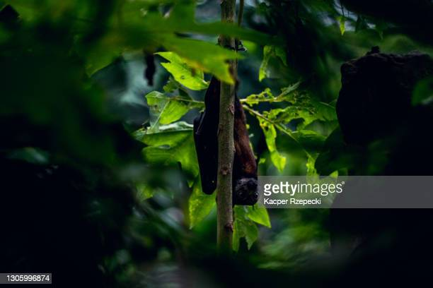 fruit bat hanging on a tree during the day and looking at the camera - zoonotic diseases stock pictures, royalty-free photos & images