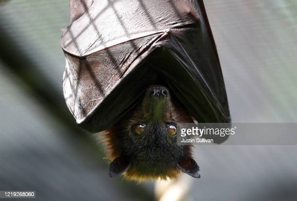 Fruit bat hangs from a rope during a behind the scenes interactive live stream from the Oakland Zoo on April 16, 2020 in Oakland, California. Since...