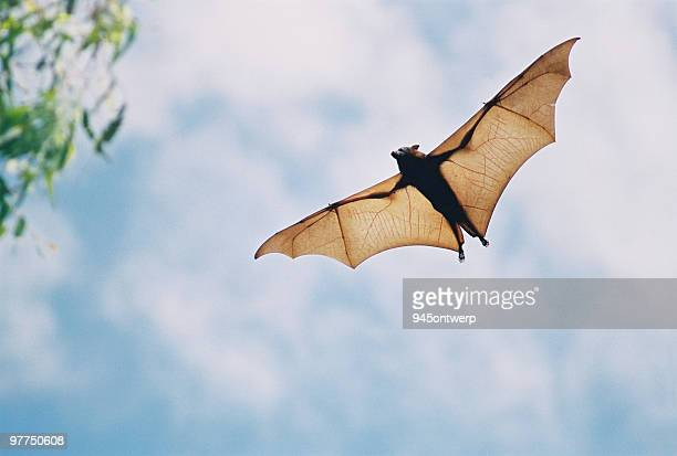 fruit bat in flight - bat animal stock pictures, royalty-free photos & images
