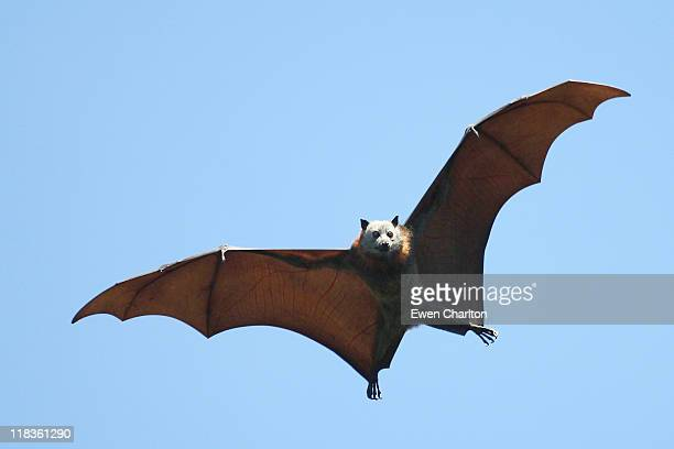 fruit bat - mammal stock pictures, royalty-free photos & images